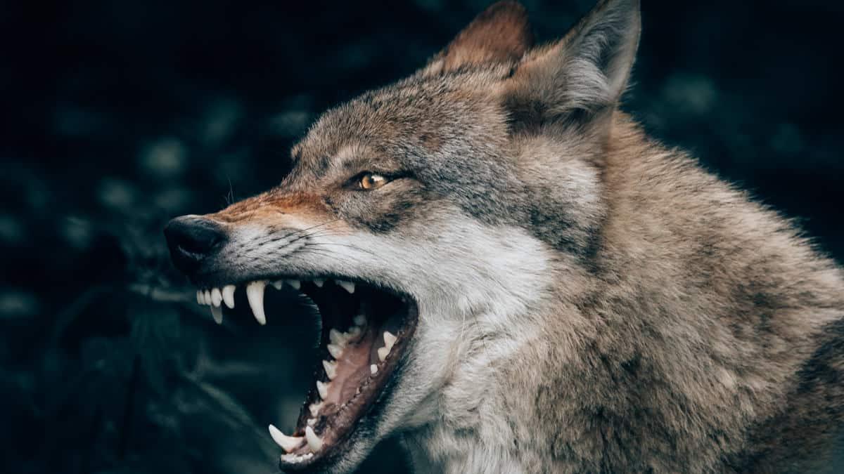 come gestire l'arrabbiatura immagine di un lupo concetto di rabbia pericolosa